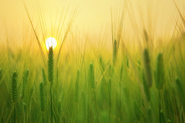 agriculture-barley-field-beautiful-207247 (2019_11_04 10_12_11 UTC)